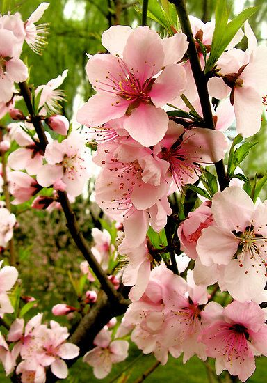 Bright Pink Peach Blossoms Of Spring By Supercamel Beautiful Flowers Wallpapers Peach Blossoms Flowers Photography