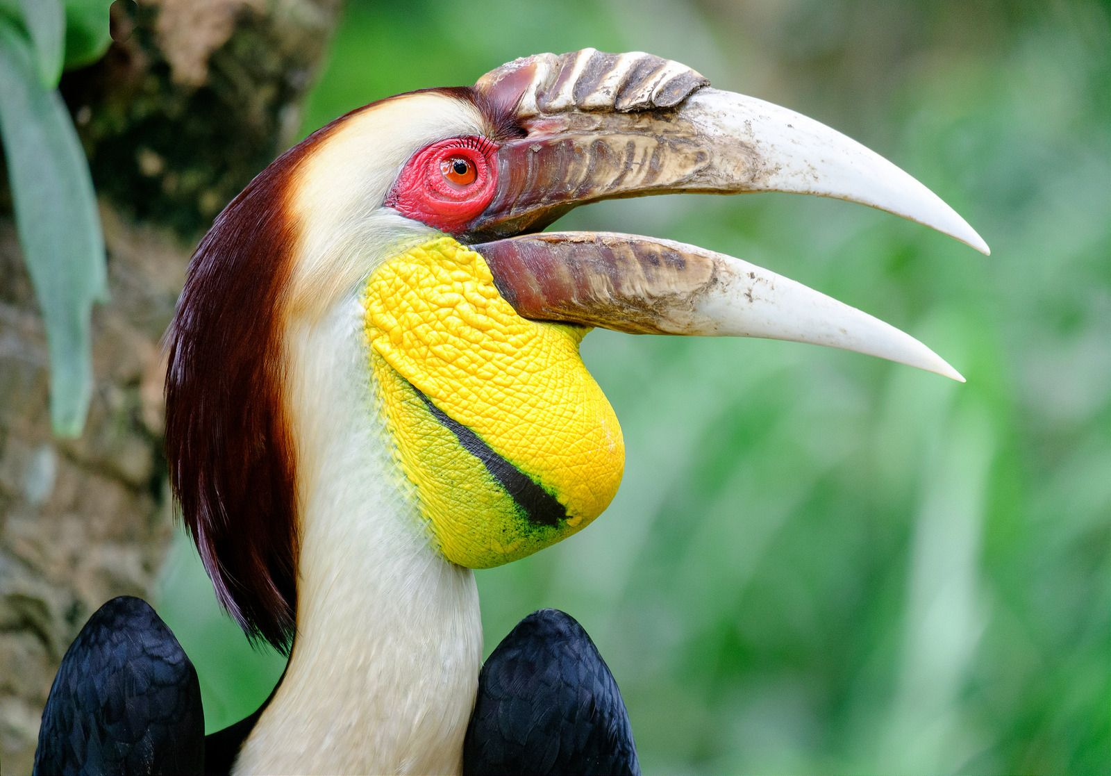 Male Wreathed Hornbill (Aceros undulates), Bali zoo