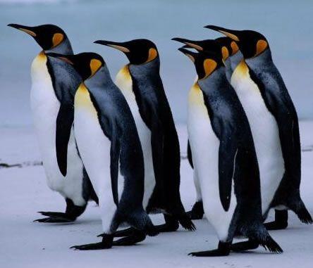 Pin De Silvia B En Animales Fotos De Pinguinos Animales En Peligro De Extincion Pinguinos