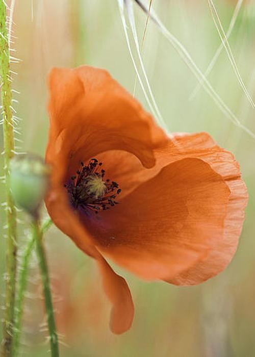 Red Poppy Spring Flower Greeting Card For Sale By Dirk Ercken