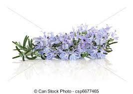 Resultado de imagem para flor de alecrim