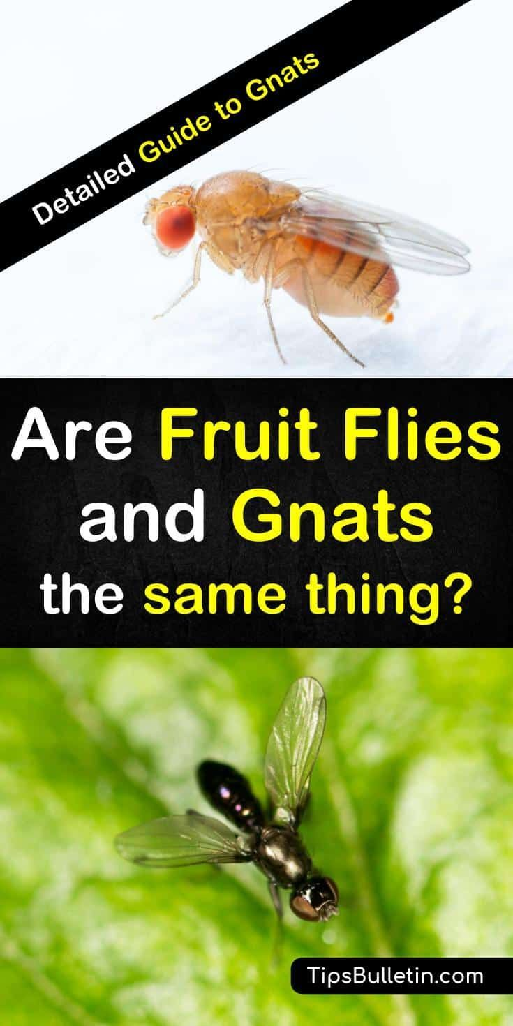 4+ Ways Fruit Flies Differ From Gnats & How To Get Rid Of