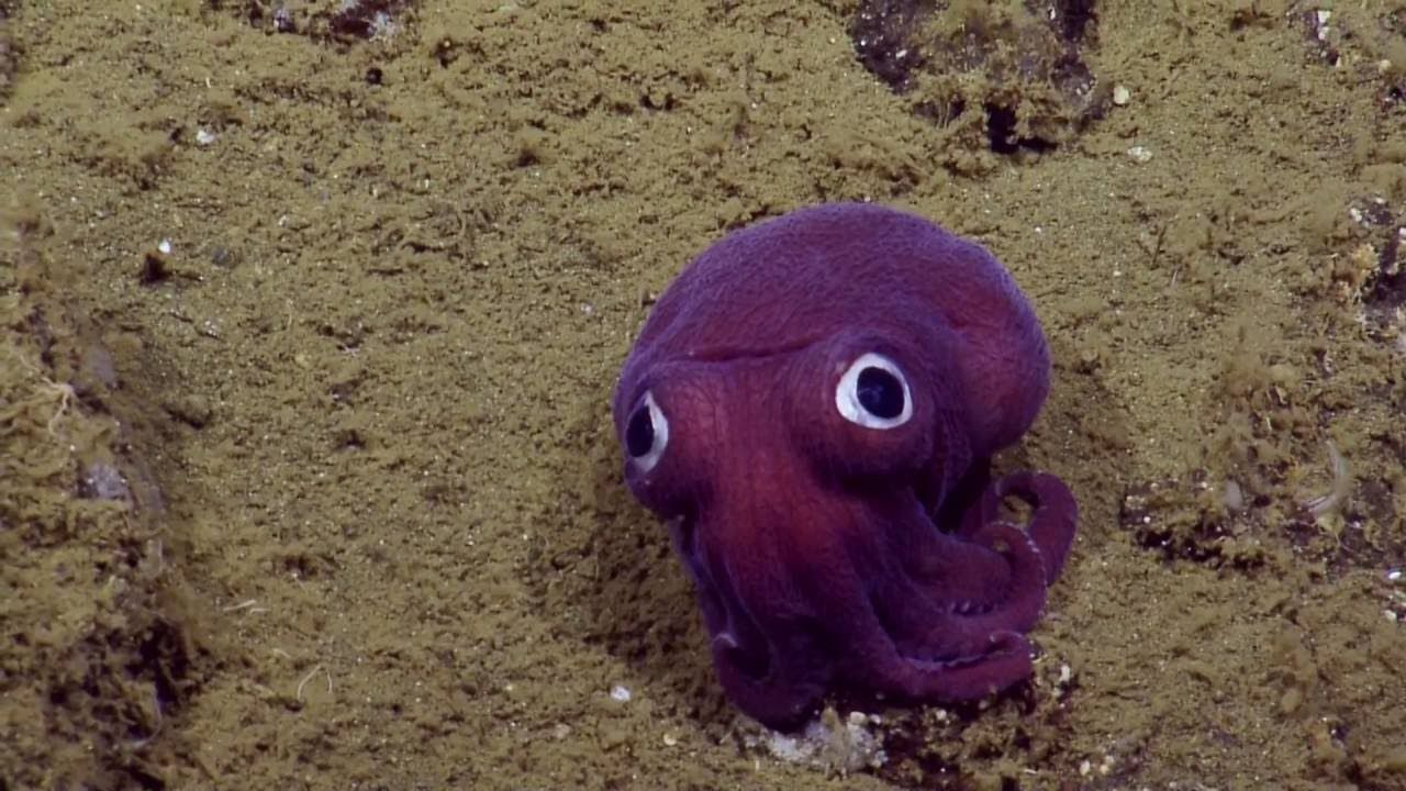 A Gorgeous Purple Stubby Squid With Big Googly Eyes That Appear to Be Painted…