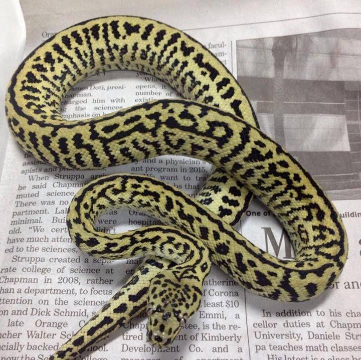 Zebra Jaguar Carpet Python Psychotic Exotics Colorful Snakes