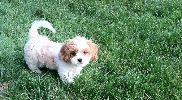 King Charles Shih Tzu Mix Are You Freaking Kidding Me Shih Tzu Cavalier King Charles King Charles Spaniel
