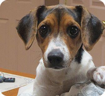 Greenville Ri Beagle Dachshund Mix Meet Paisley A Puppy For