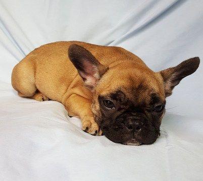 French Bulldog Puppy For Sale In Adrian Mi Adn 47205 On