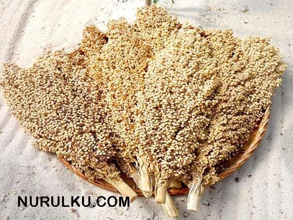 Sorgum : Si Karbohidrat tinggi pengganti nasi (Dengan ...