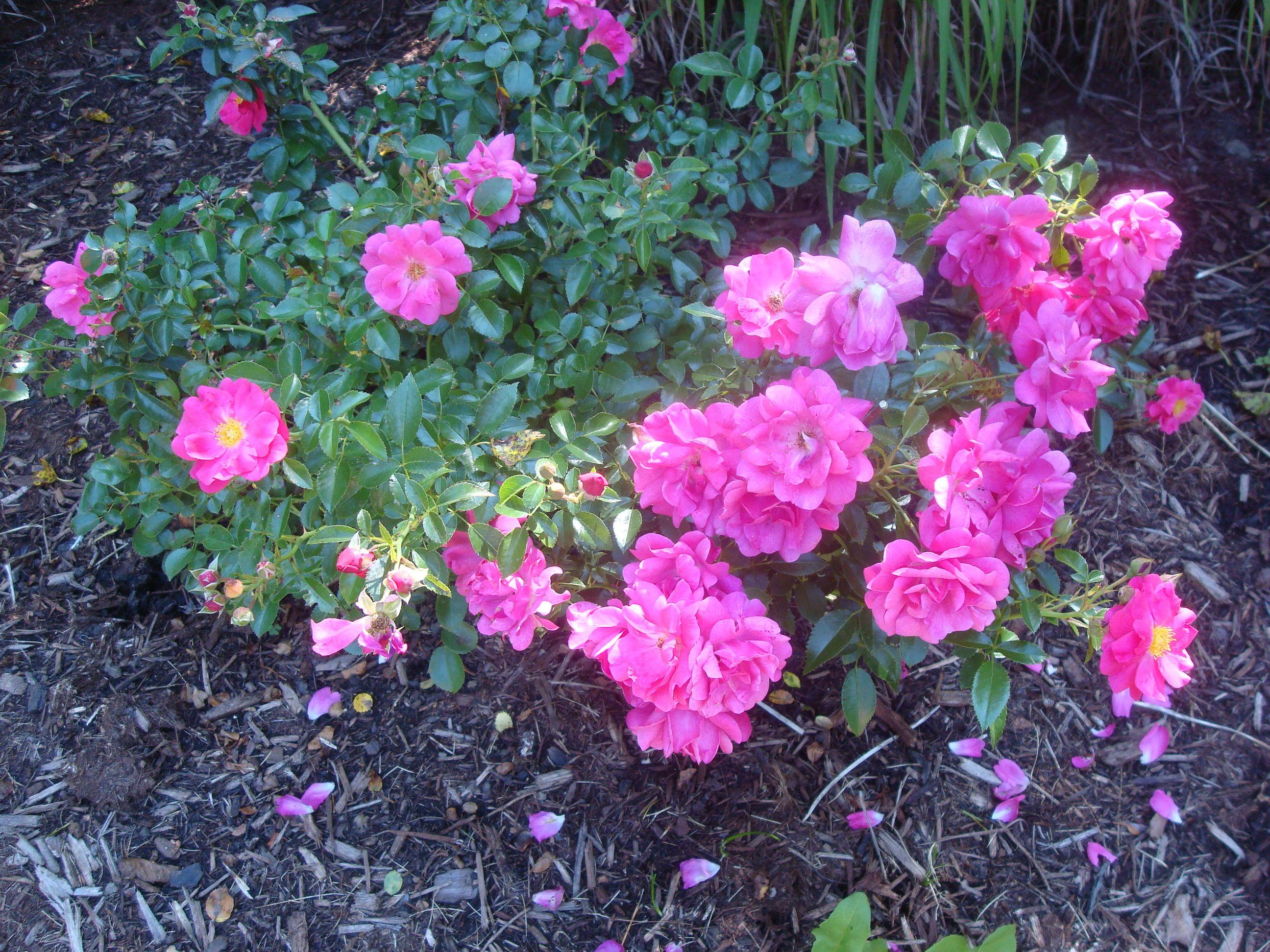 Pink flower carpet rose wesley pinterest pink flower carpet rose dhlflorist Image collections