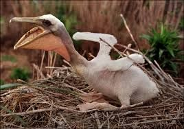 Image result for what does a newborn pelican look like ...