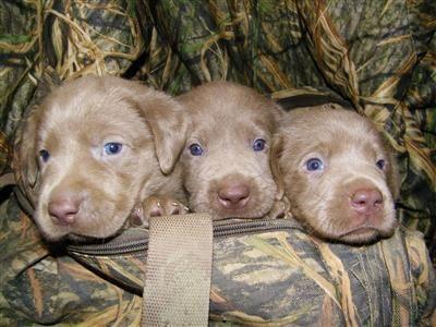 Silver Lab Puppies Lab Puppies Cute Labrador Puppies Golden Labrador Puppies