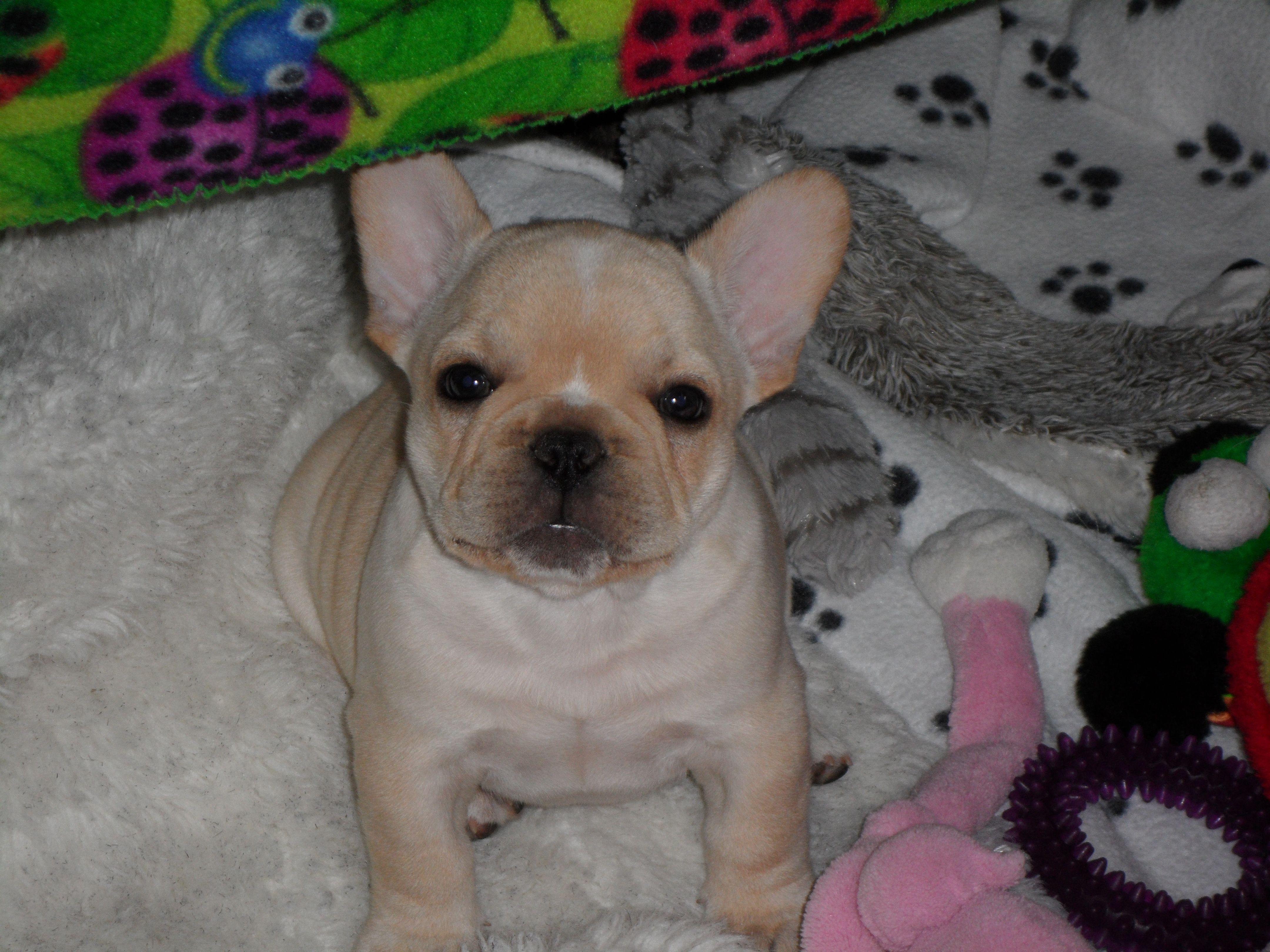 Baby Boy, Frankie the Frenchie French bulldog puppies