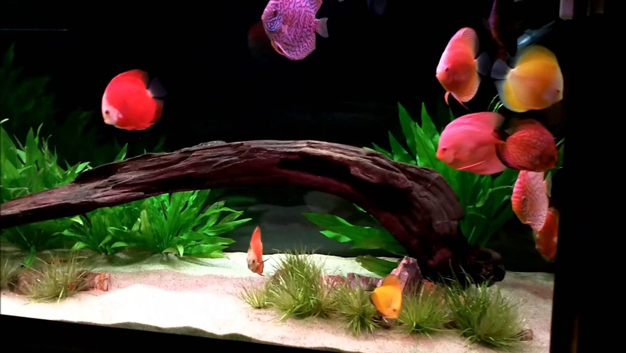 Freshwater fish tank high alkalinity - Enjoy The Commentary Free Video Of My 120 Gallon Discus Tank Filtration Dual Wet Dry With Freshwater Refugium Total Volume 45 Gallon Sump