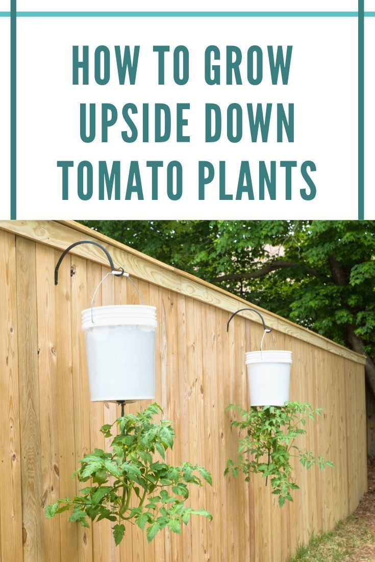 This clever tomato growing trick means you can grow tomatoes in the tiniest of spaces without fear of weeds or diseases and with abundant harvests Heres how to do it