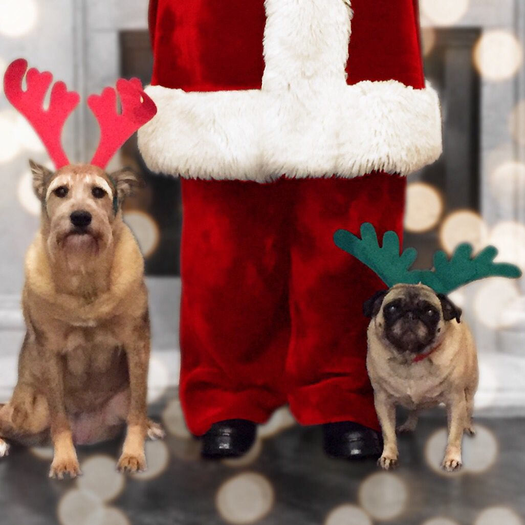 Happy Howlidays From Jubilee And Pixel Pug Love Cute Dogs Pug Photos