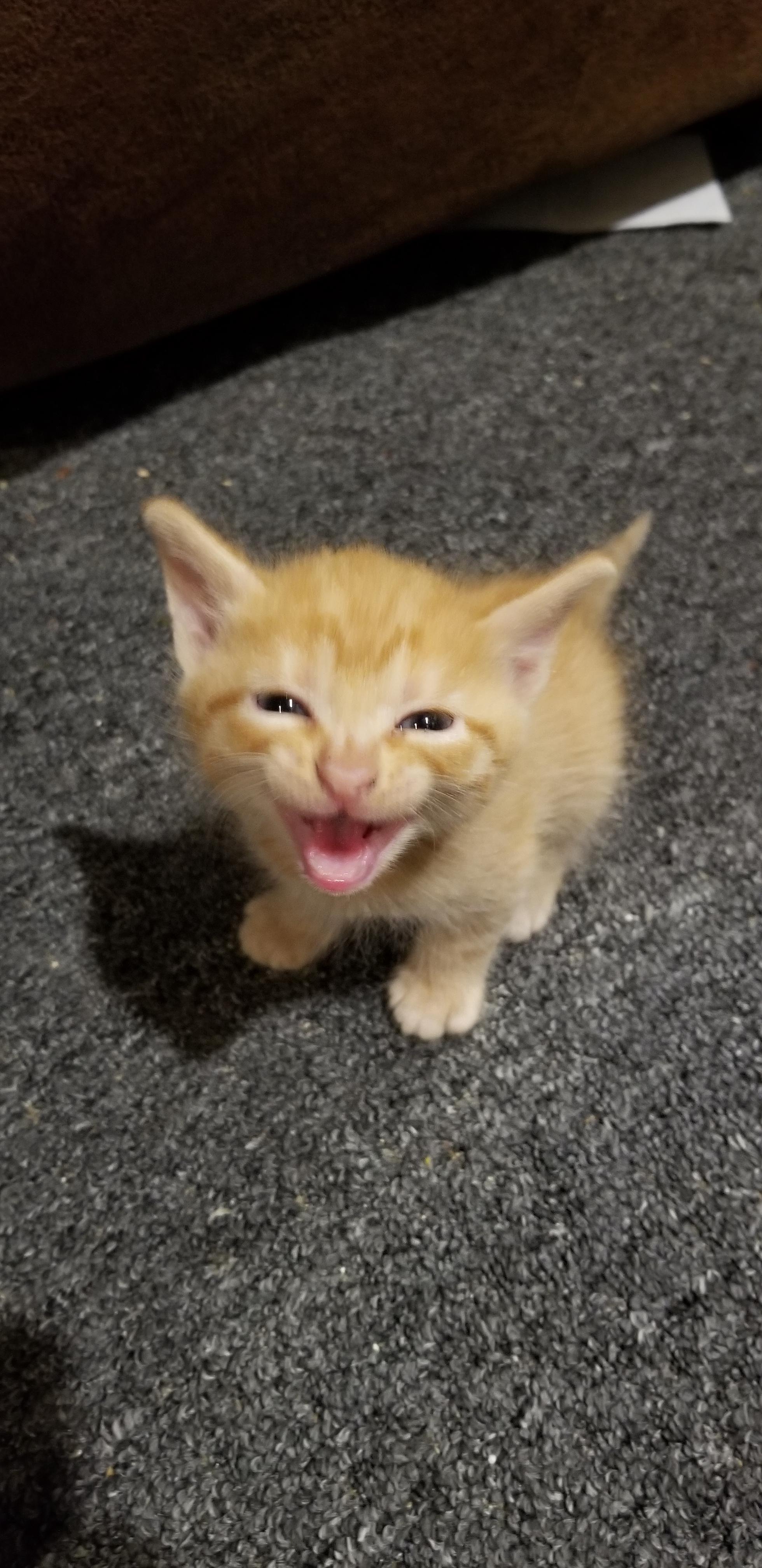 My kitten mufasa learned to roar iftwxlsz cute puppies