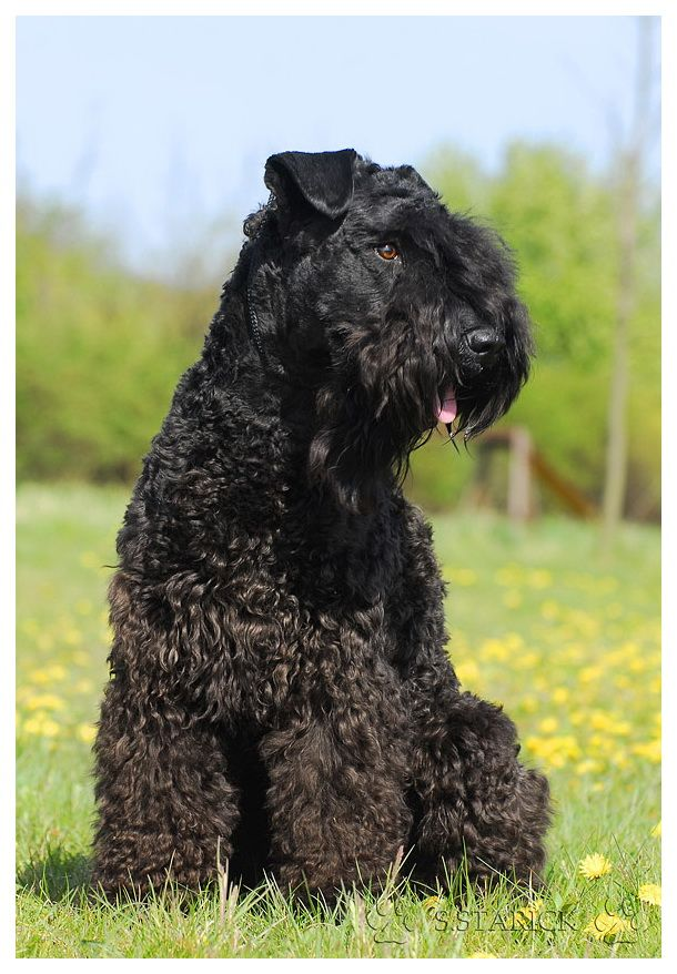 Pin by Candy Charles on TERRIERS | Dogs, Black russian