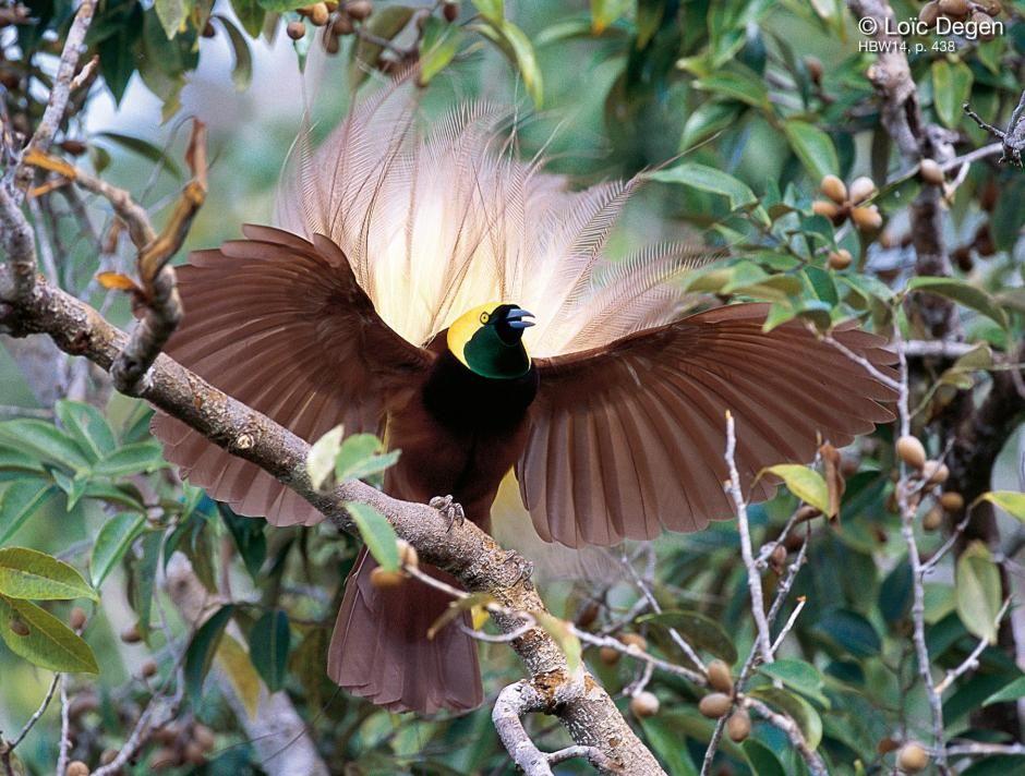 Paradisaea apoda / Ave-del-paraíso Esmeralda Grande/ Greater Bird-of-paradise / Paradisier grand-émeraude/ Großer Paradiesvogel