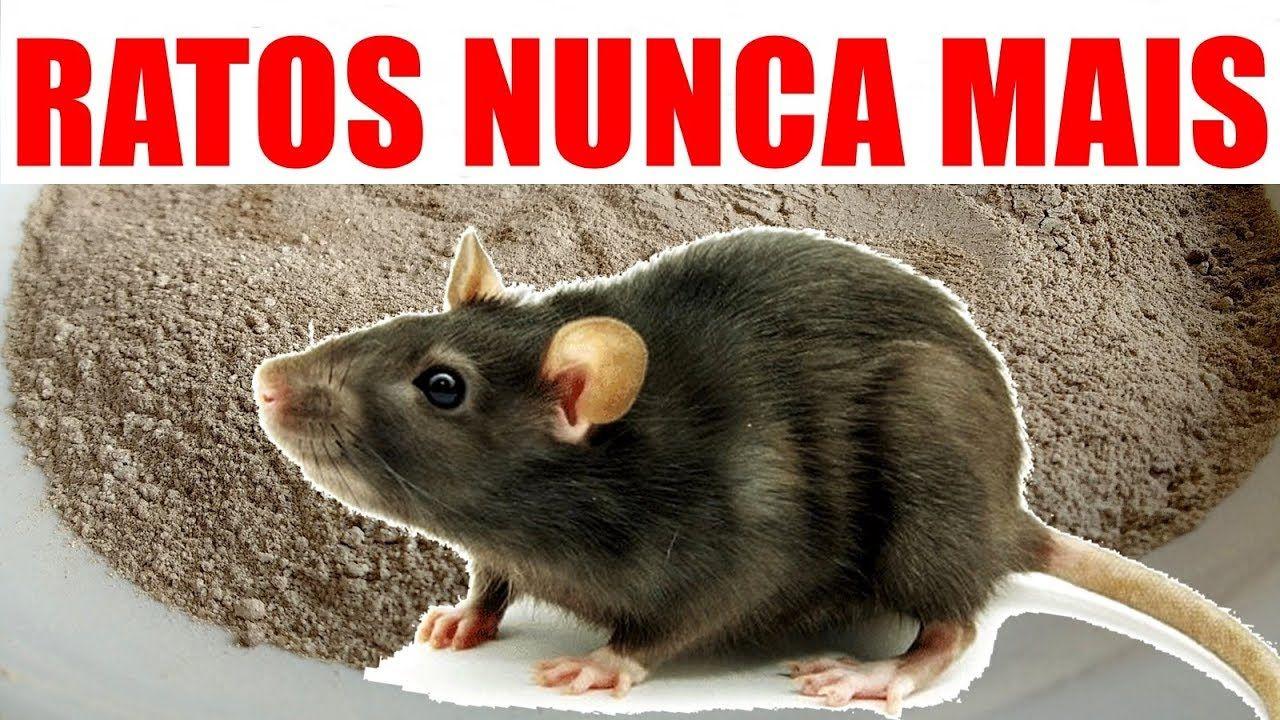 Como Acabar Con Las Ratas En El Campo Acabe De Vez Com Ratos E Baratas Com Essa Receita Caseira Veneno