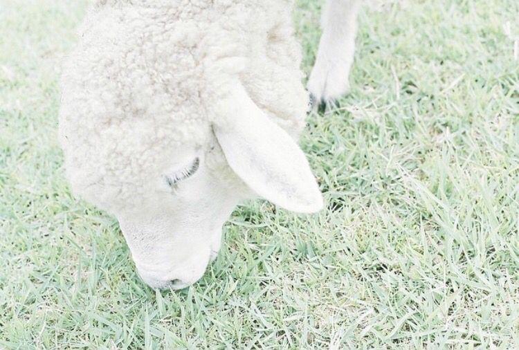親愛なる子羊