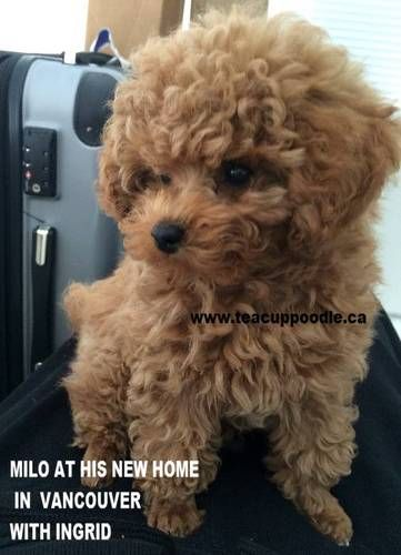 Teacup Poodle Puppies For Sale Teacup Poodle Teacup Poodles Tiny