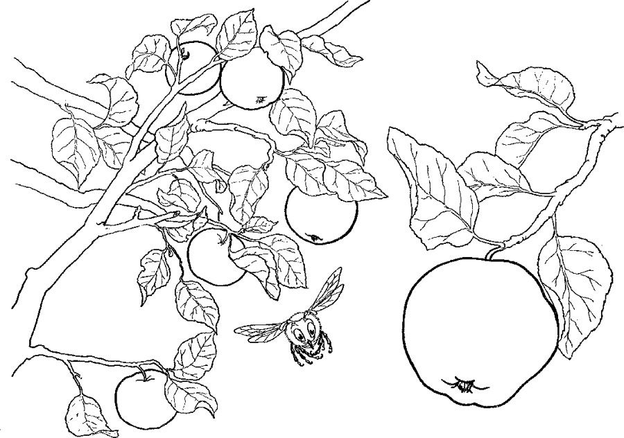 Apples On The Tree Branch Coloring Page Apple Coloring Pages