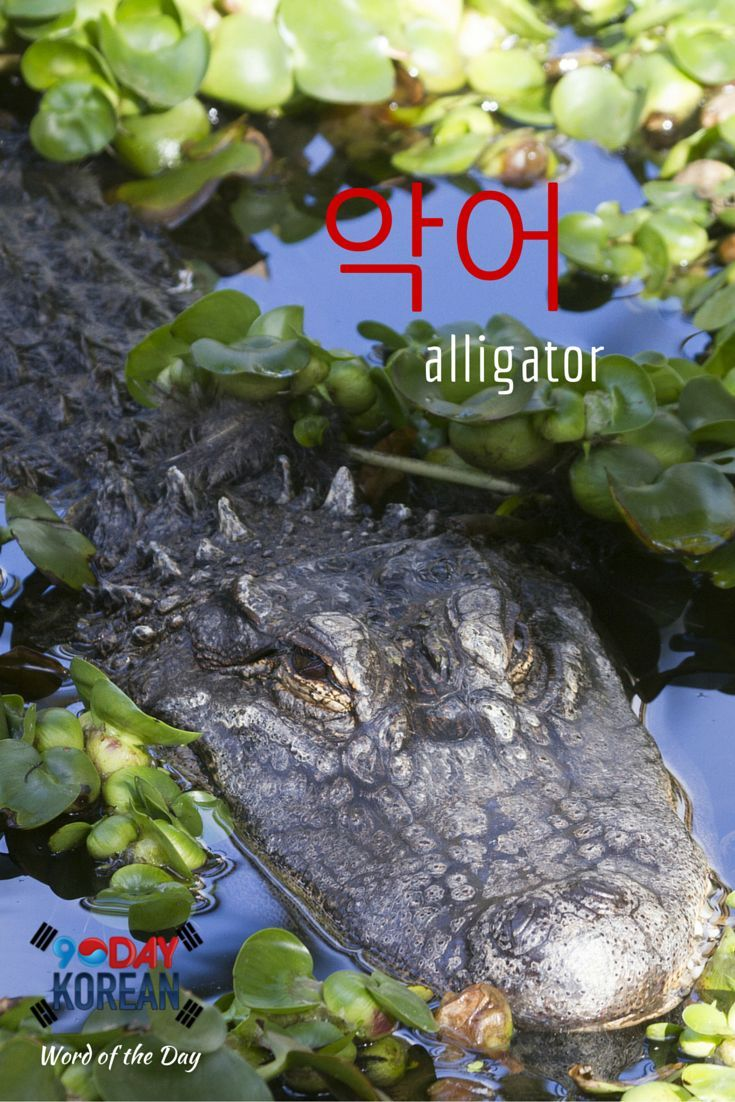 "Here's today's Korean word of the day!  The word  means alligator.""  If you cant read this word yet, download our free EPIC Korean reading guide by clicking the link in our bio and well teach you in 60 minutes.  Repin if this was helpful!"