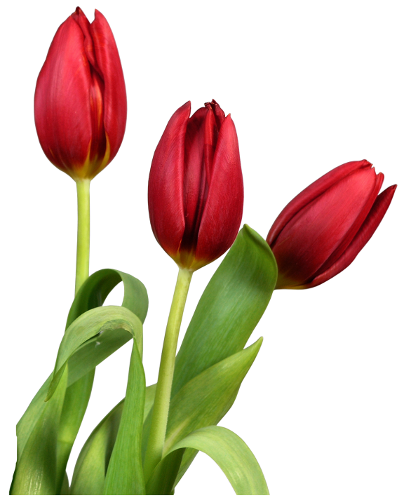 Tulip Png Image In 2020 Flower Clipart Watercolor Tulips Tulips Flowers