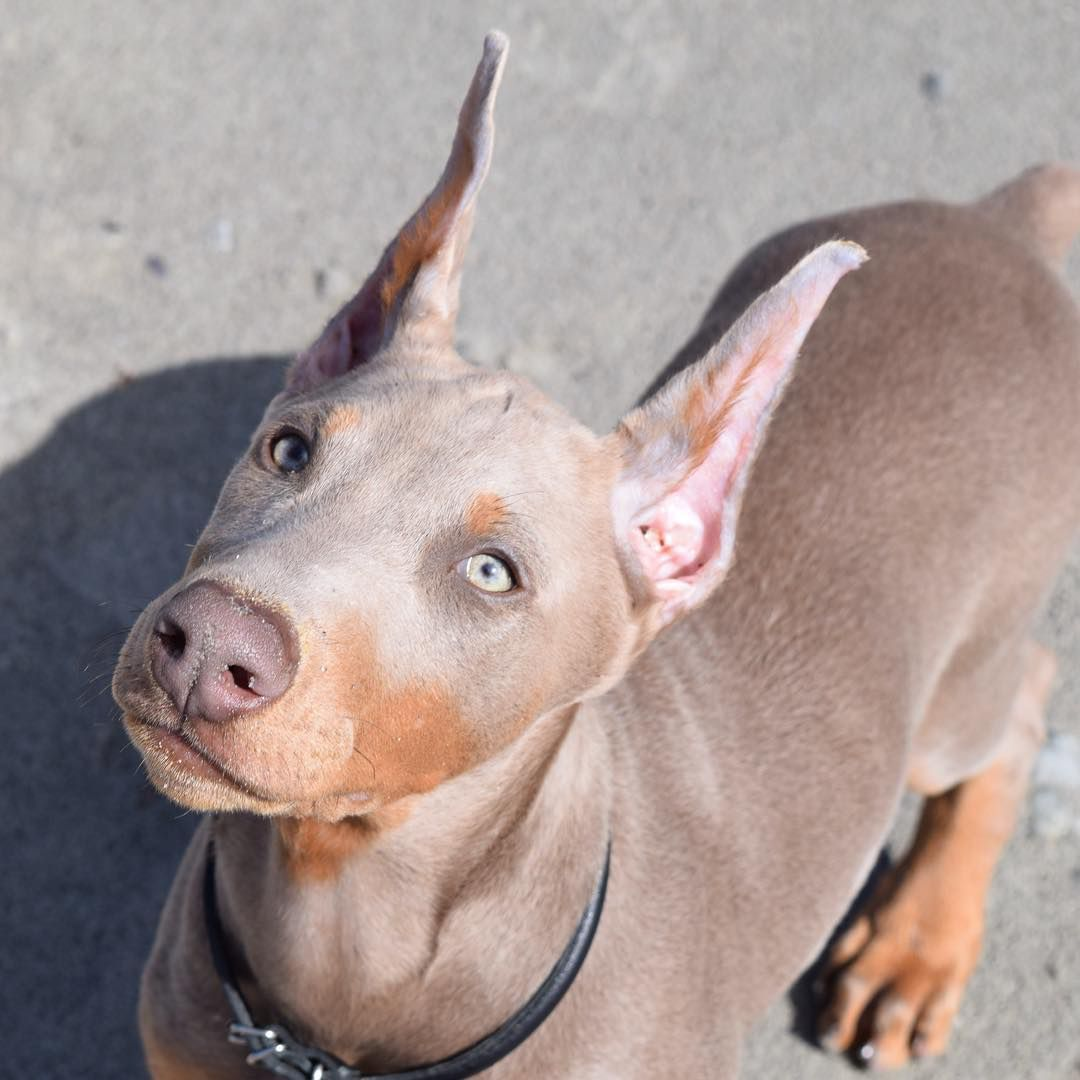 Doberman Fawn Dobermanpinscher Doberman Puppy Doberman Dogs