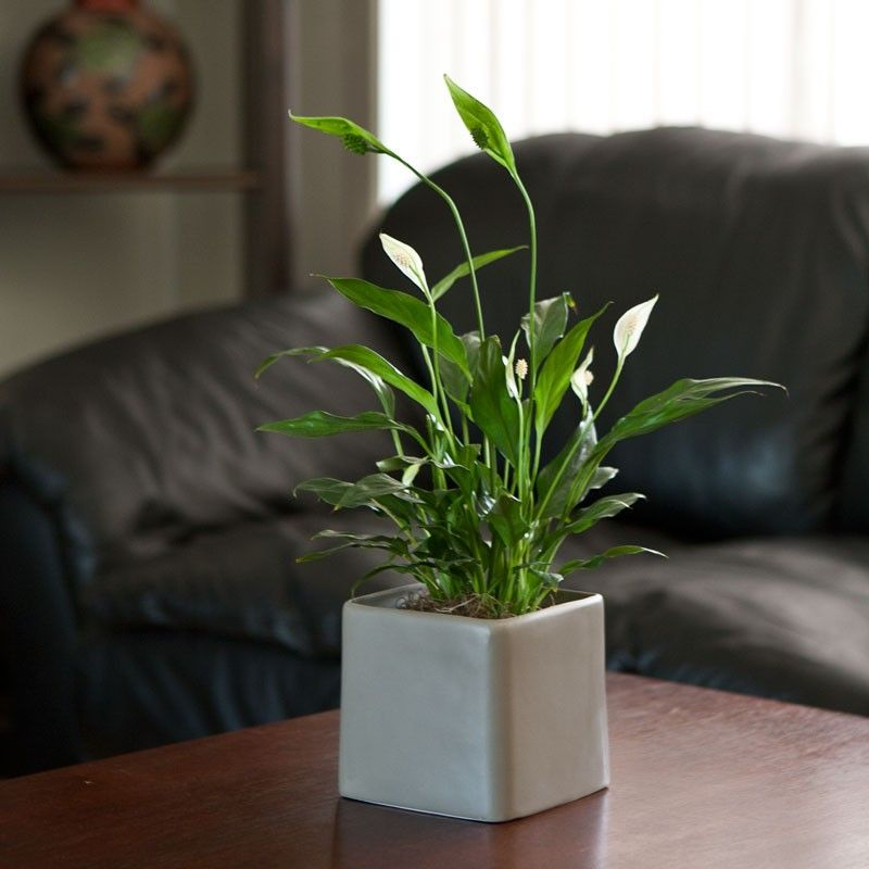 what is a peace lily good for