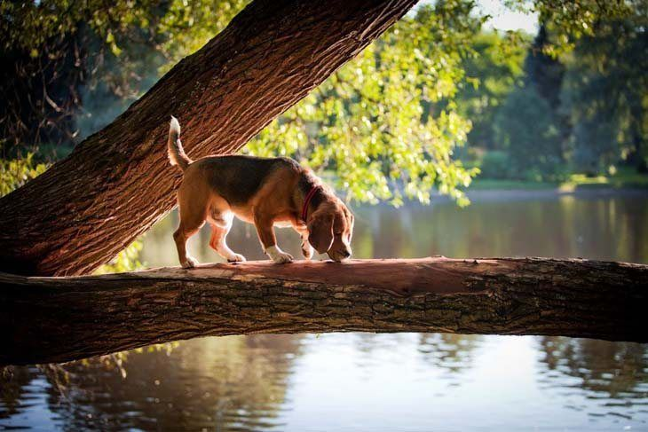 All Beagles Love The Outdoors Que Valiente Beagle Mix