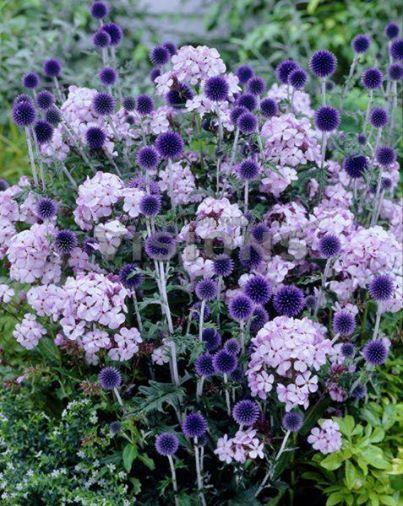Interesting garden combination - purple PHLOX and blue GLOBE THISTLE...