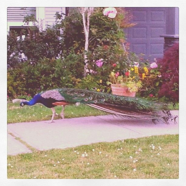 Apparently, peacocks roam the Surrey streets