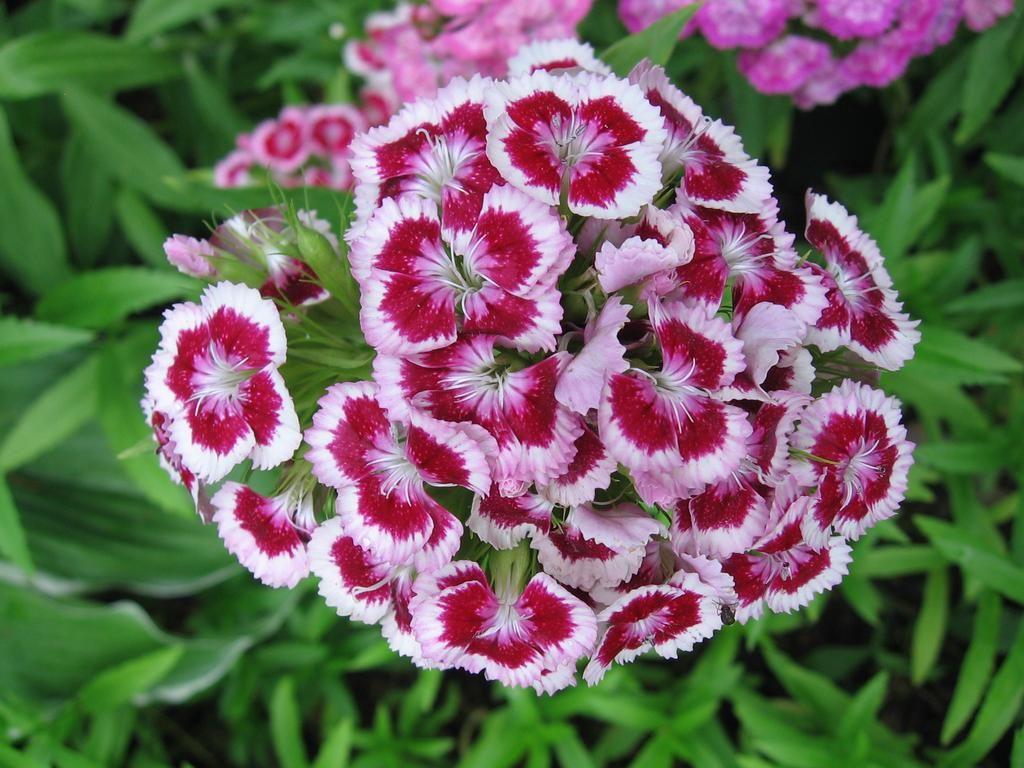 Pin By Al Ko W Ogrodzie On Wiosna Dianthus Barbatus Dianthus Gratianopolitanus Flowers