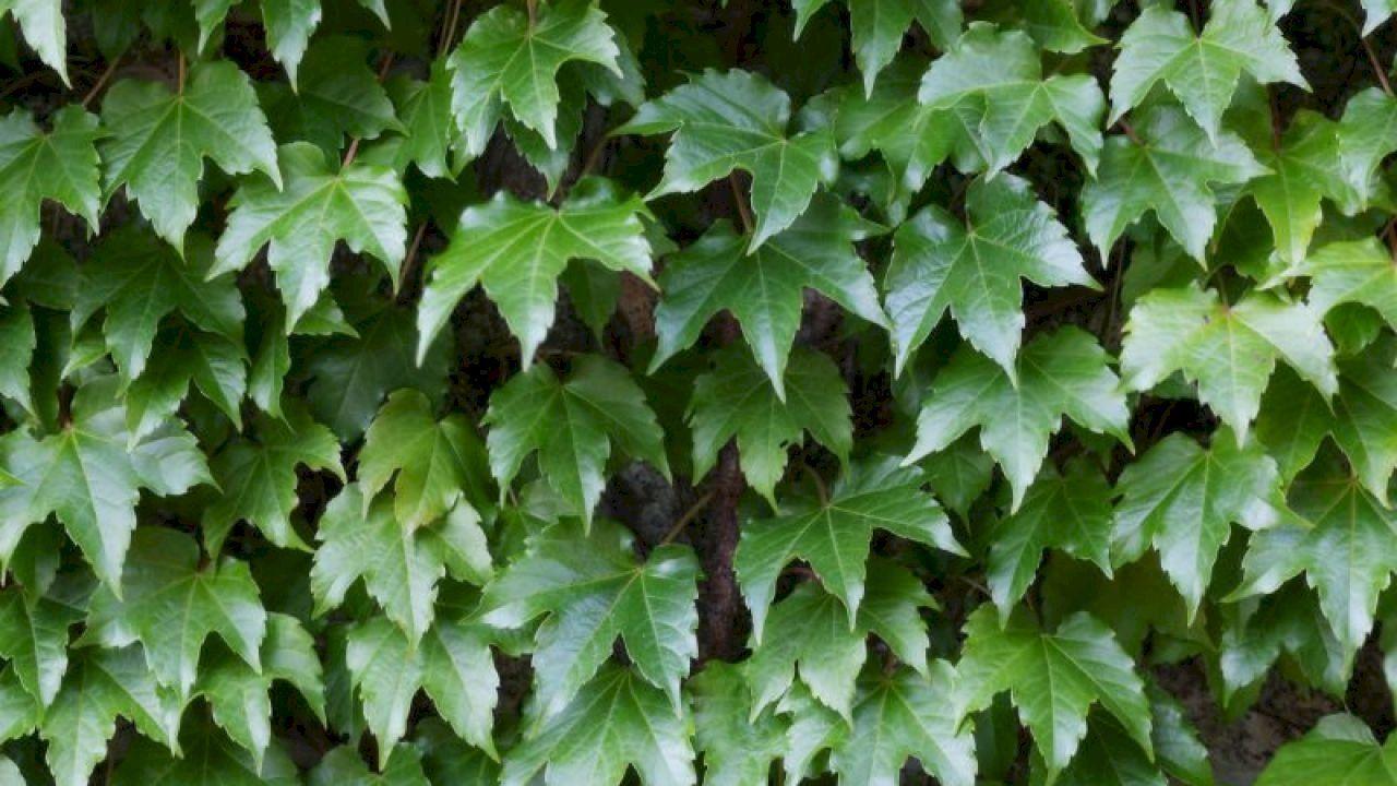 فوائد نبات اللبلاب Ivy Plants Herbs Plants