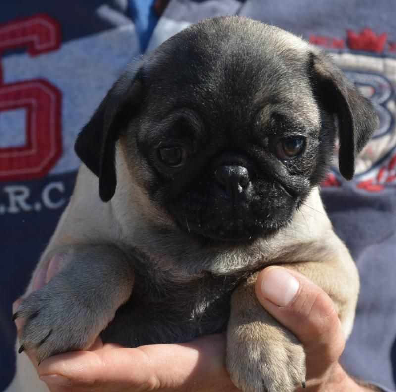 Beautiful Pug Baby Girl Pedigree Puppies For Sale Puppies For