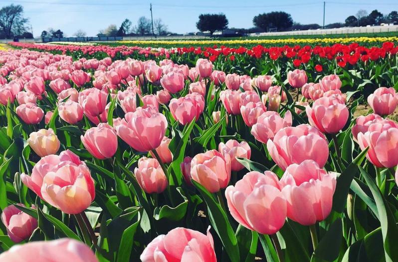 Giant Tulip Farm Set To Open Near San Antonio This Spring Flower Farm Tulips Farm