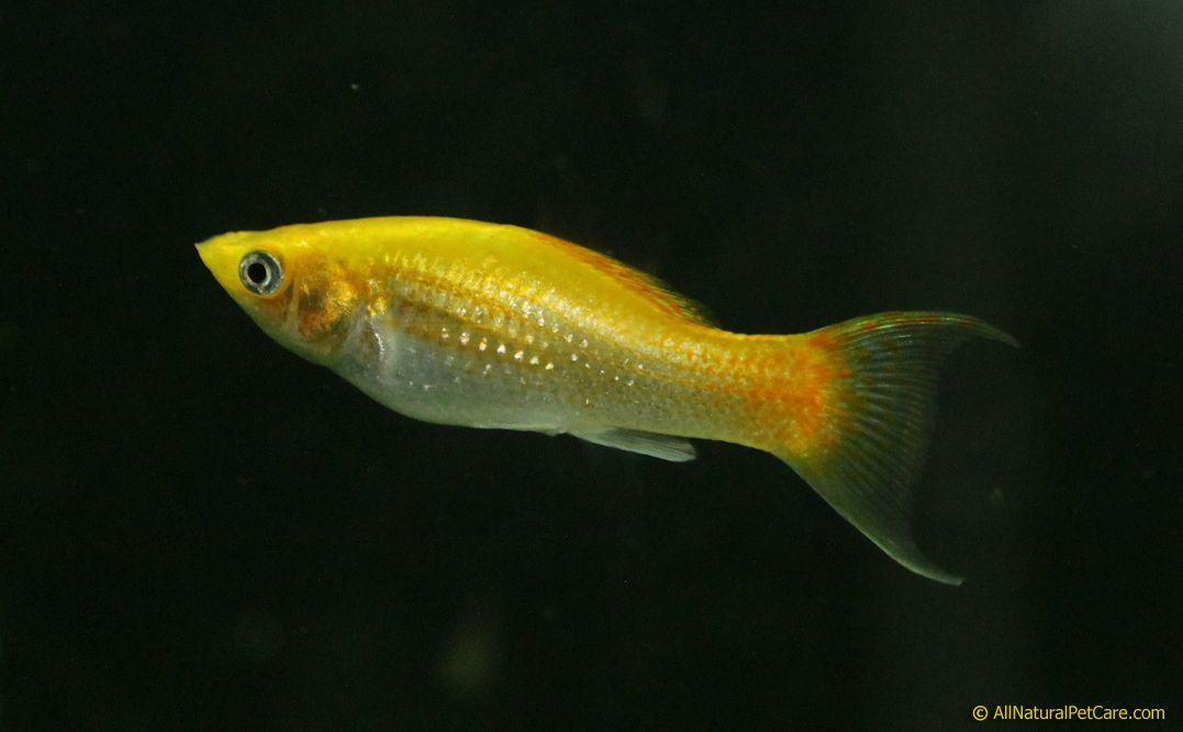 Brilliant yellow lyretail molly fish in our aquarium for Yellow tropical fish
