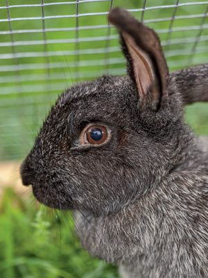 Learn More About Silver Fox Rabbits Profiled On Page 64 Of Our August September Issue
