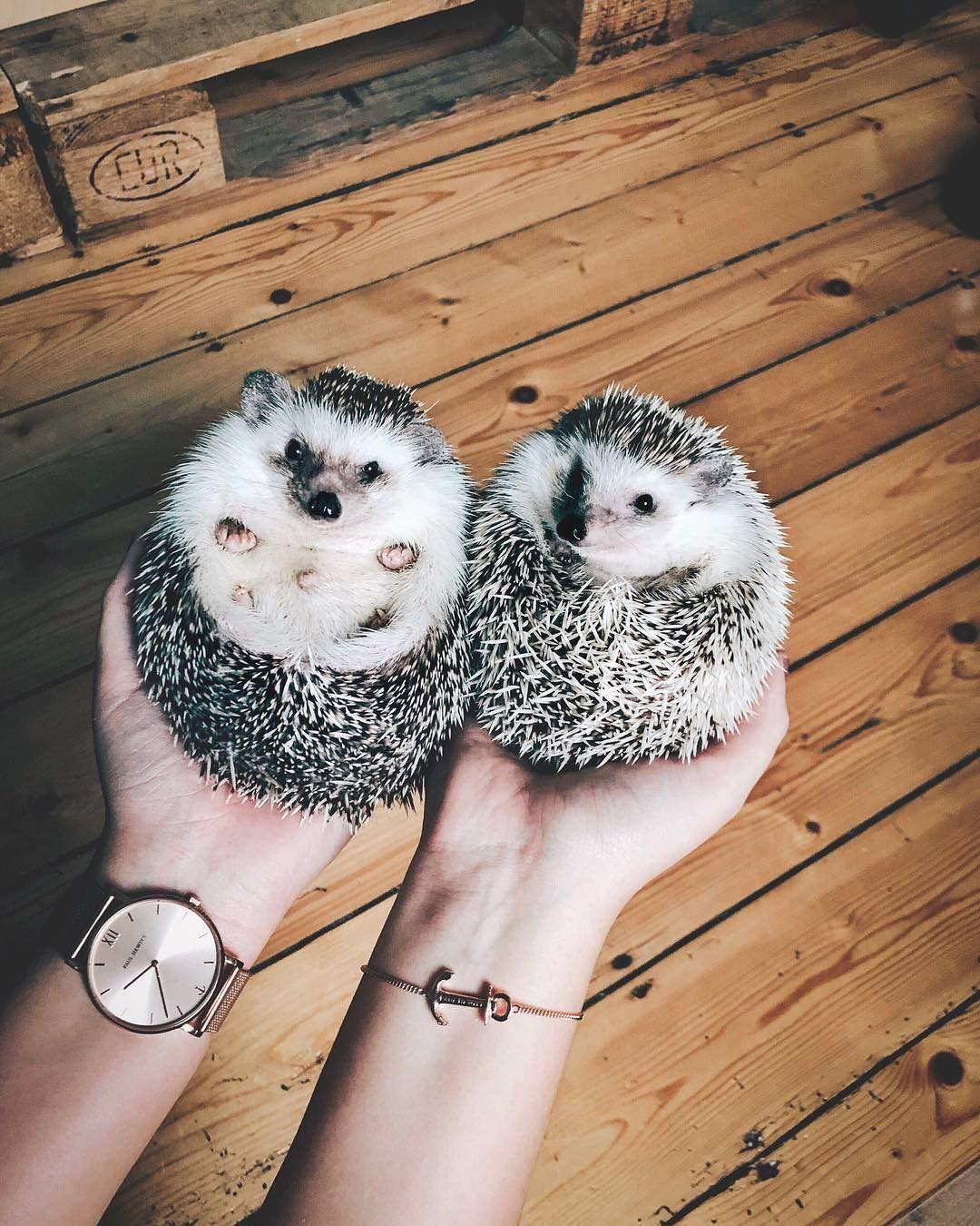 Pin By Frankee On Insert Heart Eyes Emoji Here Hedgehog Pet Cute Baby Animals Cute Animals