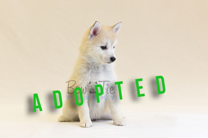 Dsc 4222 Bowtiepomsky Com Pomsky Puppy For Sale Mini Husky Pom