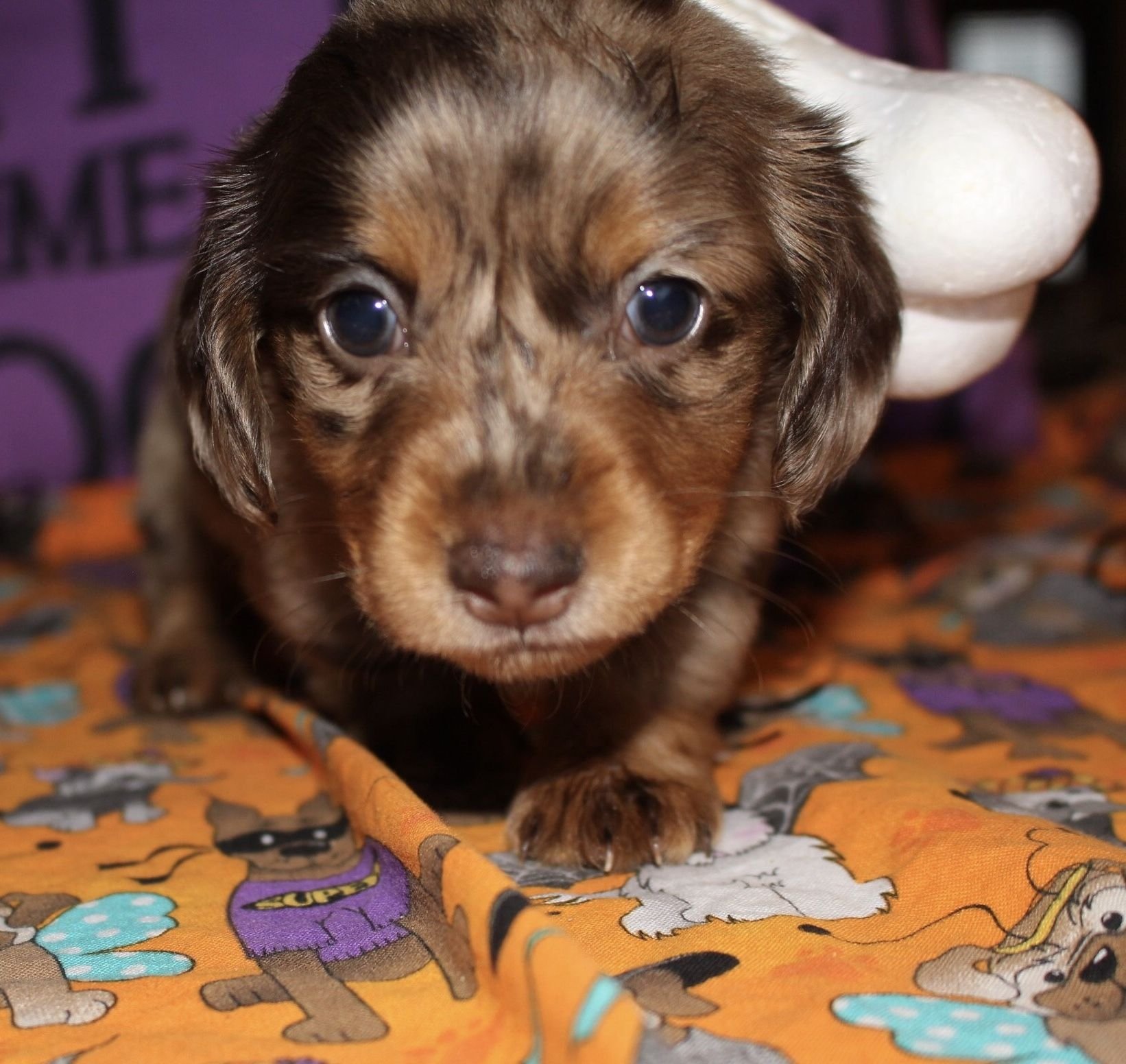 Chocolate Dapple Miniature Longhair Dachshund Puppy Dachshund Breed Dachshund Puppies Clever Dog