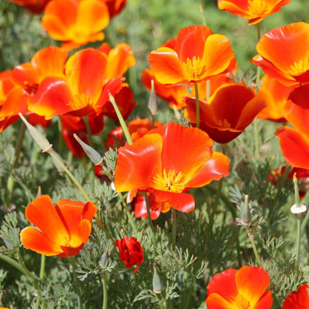 California Poppy Mikado Eschscholzia Pinterest California