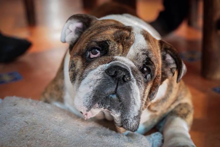 Baggy Bulldogs Bulldog English Bulldog Baggy Bulldogs