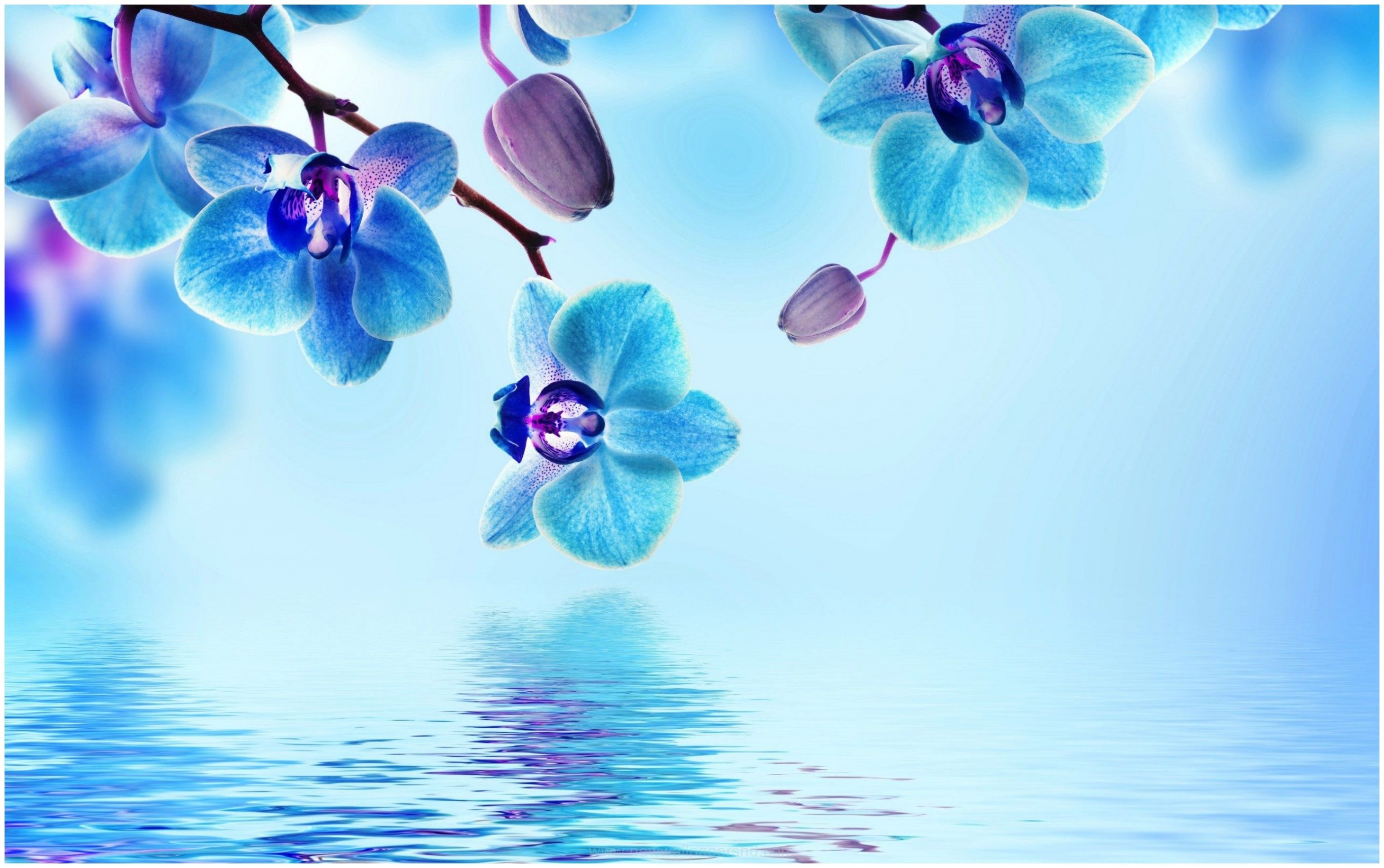 BLUE ORCHID FLOWER HD WALLPAPER
