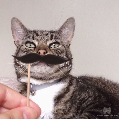 From @seventh.letter: I hope you have a fan-tache-tic day!  #catsofinstagram [source: http://ift.tt/1LMIAf8 ]