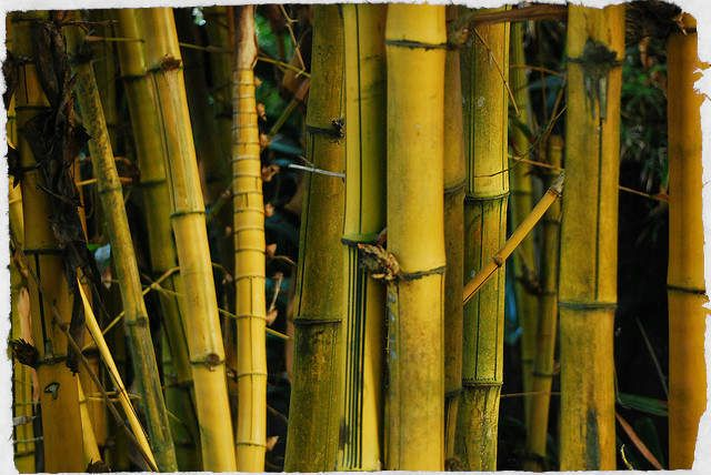 bamboo survival