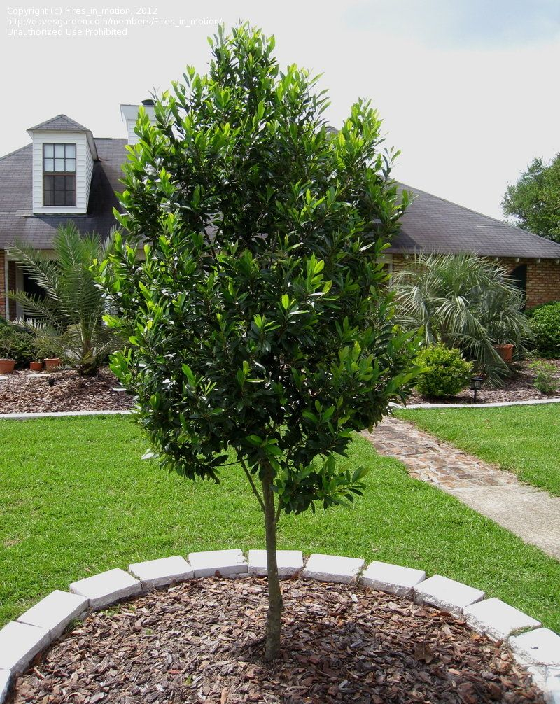 Picture of Live Carolina Laurel Cherry aka Prunus car. 'Compacta' column Plant Fit 5 Gallon Pot