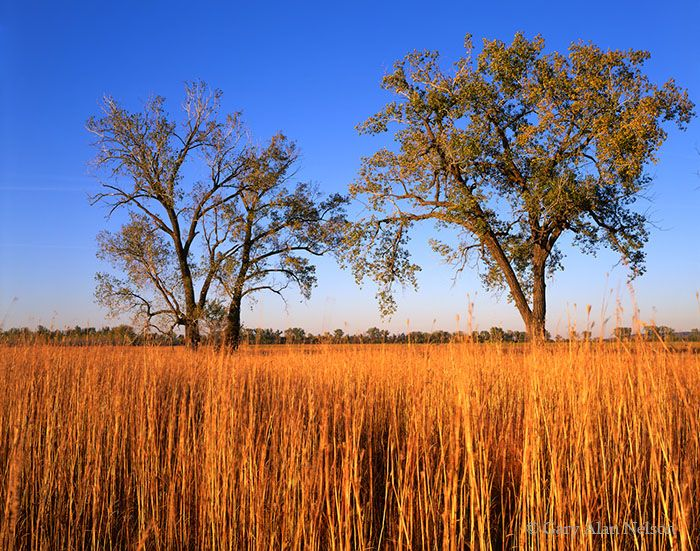 Prairie Grasses And Cottonwood Trees Boyer Chute National