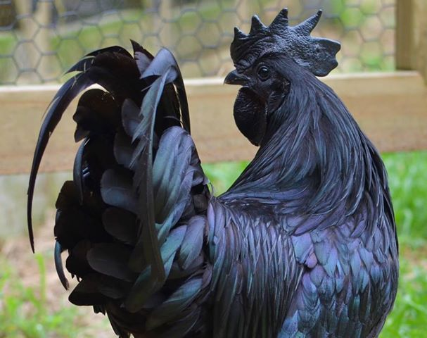Ayam Cemani...the chicken really is completely black even in it's beak.  How odd.  The flesh is black as well.
